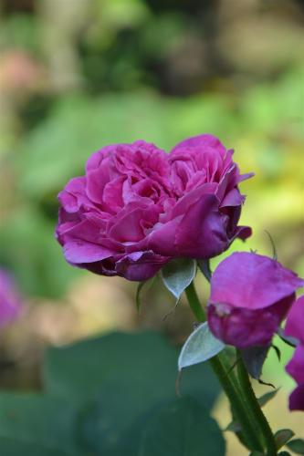 Rose per sciroppo a Genova